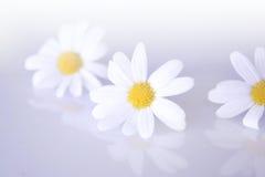 Flowers. Three flowers on light background Stock Image