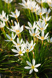 White Rain Lily flowers Stock Photos