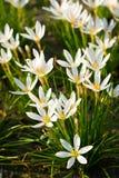 White Rain Lily flowers stock photos