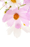 Flowers. Pink and white flowers on a white background Royalty Free Stock Image