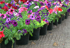 Flowers. Group of colorful flowers growing on the pots in a row Stock Photo