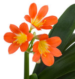 Flowers. Clivia flowers, on a white background Royalty Free Stock Images