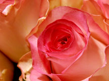 Flowers 1a. Red rose macro warm background stock images
