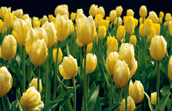Flowers 2 (yellow tulips). Yellow tulips grow in the field Royalty Free Stock Images