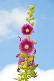 Flowers. Pink Flowers Growing Over Sky Background Royalty Free Stock Photos