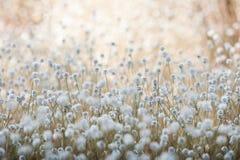Flowers. A beautiful field of flowers (gra-dum-ngern flower Stock Photography