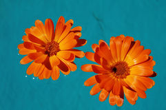 Flowers. Two orange flowers in water Royalty Free Stock Photography