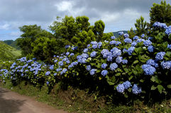 Flowers. From Azores Stock Photo