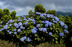 Flowers. And vegetation of Azores, Portugal Royalty Free Stock Photography