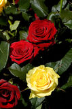 Flowers 24. Red and yellow roses background royalty free stock images