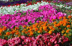 Flowers. Rows of colorful potted flowers waiting to be planted in a summer garden Royalty Free Stock Image