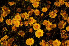 Flowers. Wild yellow flowers Royalty Free Stock Images