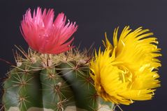 Flowers. Red and yellow on cactus Stock Images