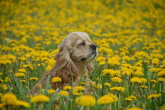 Dog in Field of Yellow Flowers Stock Photo