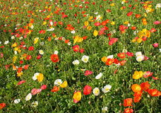 Flowers. Green grass and red, yellow and white flowers Stock Images