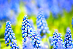 Flowers. Beautiful blue flowers. Close up Royalty Free Stock Image