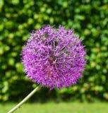Flowers. Allium karataviense flower in a town park Royalty Free Stock Photography