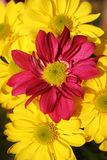 Flowers. Pink and Yellow flowers Royalty Free Stock Images