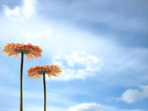 Flowers. Two orange gerbers over blue sky with white clouds Stock Photography