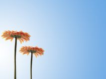 Flowers. Two orange gerbers over blue Stock Photos