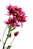 Flowers. A closeup shot of a stalk of pinkish red flowers on a white background Stock Photography