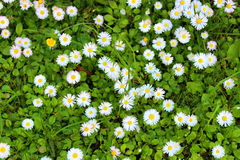 Flowers. Camomile flowers as desktop wallpaper Royalty Free Stock Images
