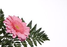 Flowers 3. A single pink daisy with a fern background with copyspace Royalty Free Stock Photography