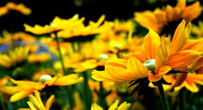 Flowers. A pic with some yellow flowers Stock Photography