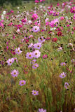 Flowers. Authmn pink red flowers on grassland Royalty Free Stock Image