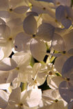 Flowers. White lilac flowers close up, against the evening sun Stock Photos
