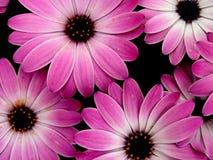 Flowers. Beautiful magenta flowers with dark black background Stock Photography