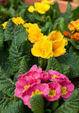 Flowers. Yellow and pink marigold on the bed royalty free stock photos