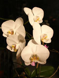 Flowers. Orchid Phaleanopsis Stock Photography