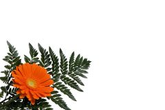 Flowers 5. A single orange daisy with a fern background on white with copyspace Stock Photo