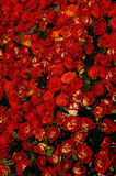 Flowers 52. Red roses background royalty free stock photo