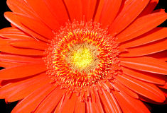 Flowers 53. Red daisy flower on black background stock photos