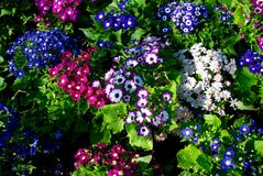 Flowers. The flowers background - Cineraria Cruenta Royalty Free Stock Photography