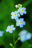 Flowers. Blue flowers (Myosotis Alpestris), known as Forget Me Not royalty free stock photo