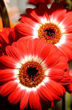 Flowers 54. Red daisy flowers background Stock Photo