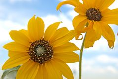 Flowers. Yellow flowers with the sky as a background Royalty Free Stock Photo