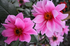 Flowers. Bunch of pink flowers Stock Photos