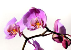 Flowers 58. Violet orchids flowers background Royalty Free Stock Image