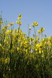Flowers. Field with yellow flowers against blue sky Royalty Free Stock Photography