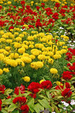 Flowers. A Field of Yellow and Red Flowers royalty free stock photography