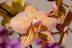 Flowers 61. Yellow violet stripy orchid flower background stock images