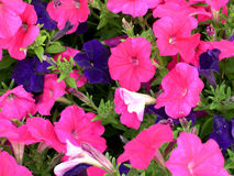 Flowers. Pansy royalty free stock photography
