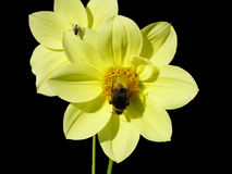 Flowers. Yellow flowers on black background royalty free stock images