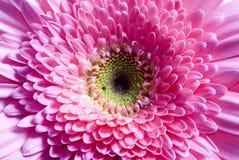 Flowers 7. A macro shot of a magenta daisy Royalty Free Stock Photos