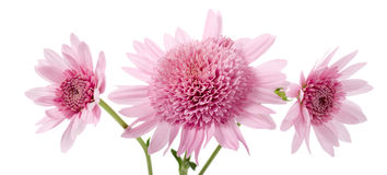 Flowers. Isolated on white background royalty free stock images