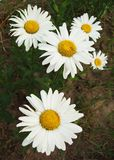 Flowers. White flowers (chamomilla)on natural background stock image